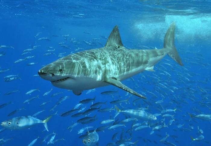 KP_Shark_3